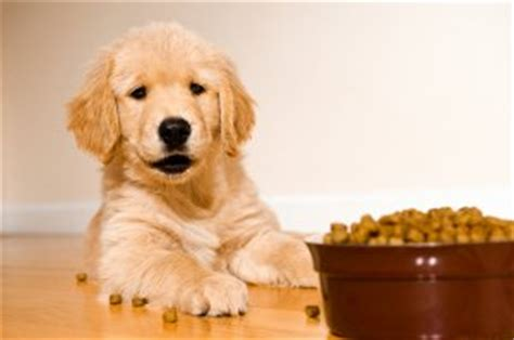 how much food to feed a golden retriever food explained