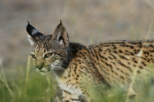 Iberian lynx the most endangered wildcat in the world credit izw