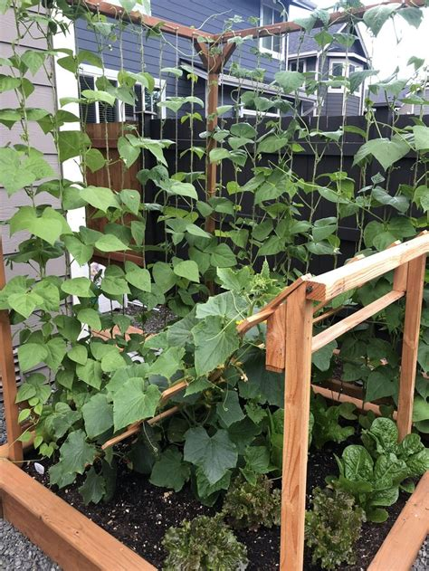 cucumbers  pole beans  starting  formfirst time