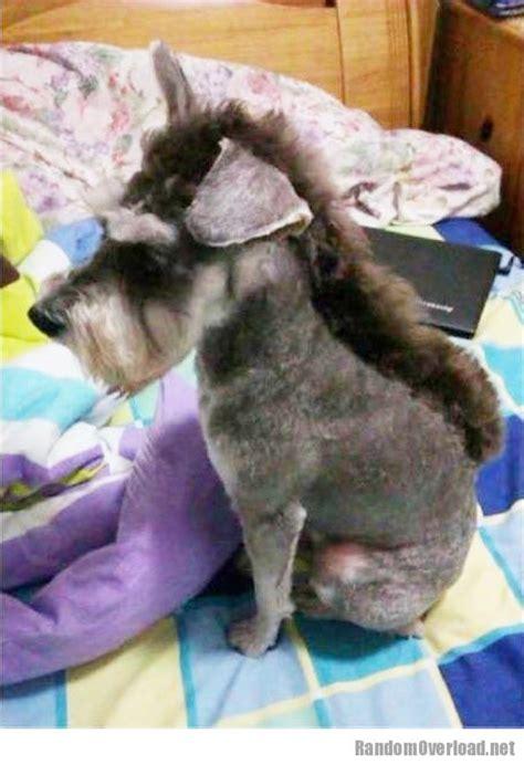 schnauzer  donkey schnonkey randomoverload