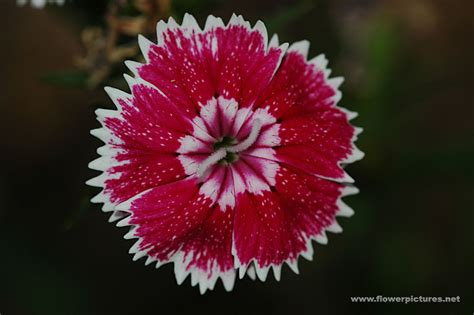 pictures of flowers dianthus