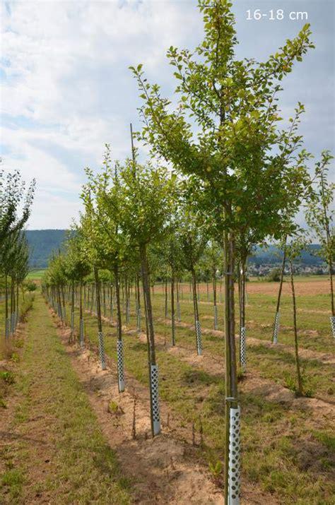 steinfußböden für küche mirabellenbaum hochstamm halbstamm kaufen mr