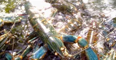 Jual Bibit Lobster Air Tawar Jawa Barat cimahi lobster farm bandung jawa barat analisis usaha