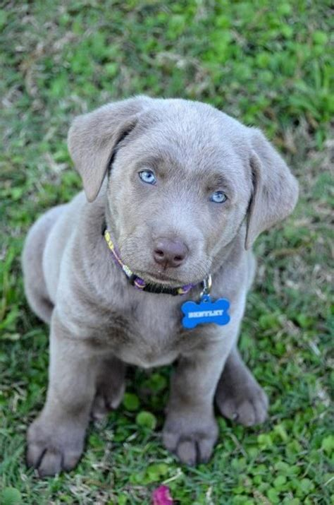 silver lab puppies silver lab puppy louisiana silver labradors look us up on creature