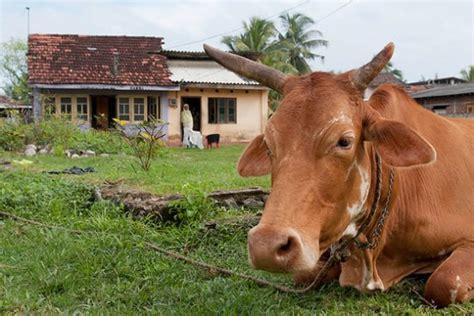 cow house enterprises involving cattle the accidental smallholder