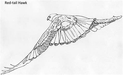 red tailed hawk page coloring pages