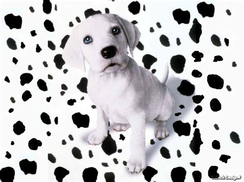 puppy dalmatian spotted dalmatian puppy dogs wallpaper