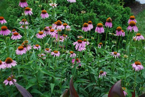 Echinacea Purple Coneflower T1310 4 echinacea purpurea purple coneflower 4 pbmgarden