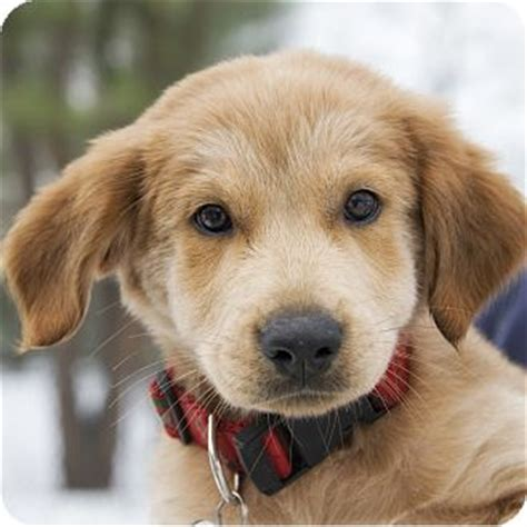golden retriever mix puppies rescue dancer adopted puppy ny golden retriever labrador retriever mix