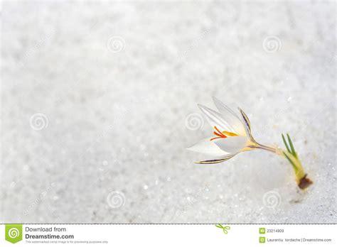 fiore neve fiori croco nella neve immagine stock immagine di