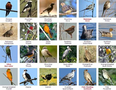 types of birds in alphabetical order pictures to pin on