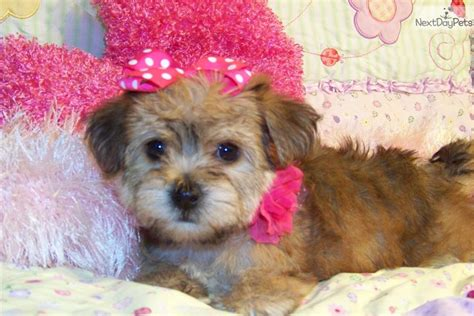 yorkie poo puppies for sale australia white husky puppies free siberian husky puppies in pa husky puppies breeds picture
