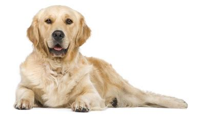 golden retriever coughing web design services packages available value for money panton boarding kennels