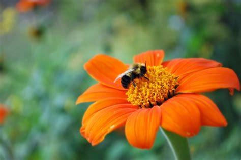 beautiful orange bee on a beautiful orange flower free stock photo public