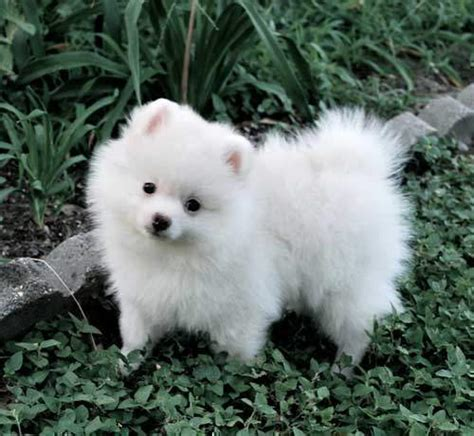 pomeranian eye discharge pomeranian puppies for sale breeds picture