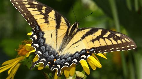 yellow monarch butterfly quotes