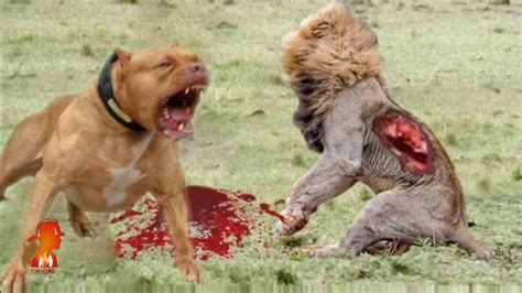 most vicious dogs the worlds most aggressive breeds breeds picture