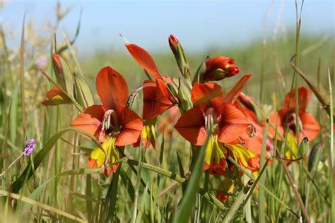 gladioli fiori gladioli gladiolus bulbi caratteristiche gladiolo
