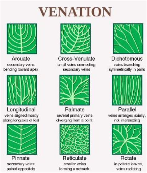 venation pattern analysis of leaf images how to identify a tree leaf using shape margin and