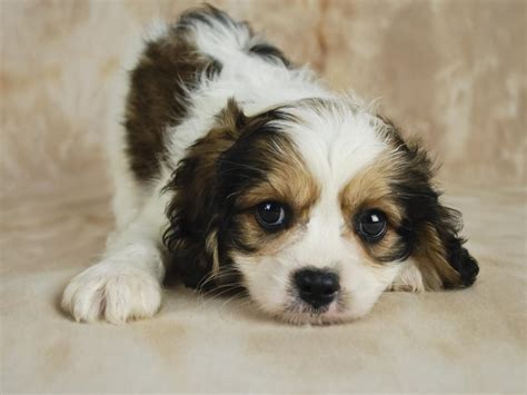 cavachon dogs information about the affectionate cavachon breed