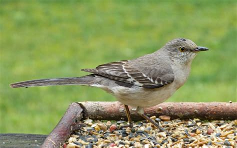 northern mockingbird on a tray feeder feederwatch