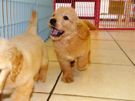 golden retriever puppies for sale in ga loving golden retriever puppies for sale in at atlanta columbus johns creek