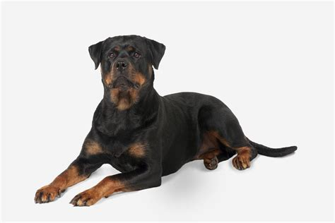 rottweiler hd pics rottweiler breed animal images pictures hd wallpapers