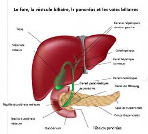Formidable Differents Types De Tissus #5: liver_fr-403x368.png