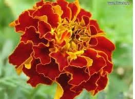 Jual Bibit Tanaman Pengusir Nyamuk tanaman pengusir nyamuk bunga marigold provinsi sumatera