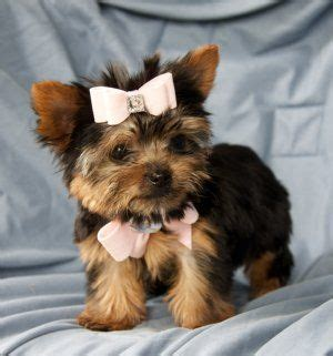 small yorkies 1000 ideas about teacup puppies for sale on white pomeranian puppies
