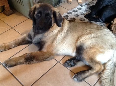 leonberger puppies available leonberger puppy available wisbech cambridgeshire pets4homes