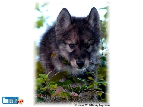 timber wolf puppies for sale black agouti wolf pups ready now www wolamutes eastern timber wolf puppies for