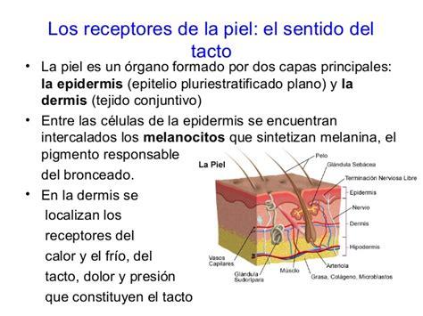 los receptores sensoriales los receptores sensoriales