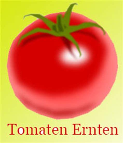 tomaten ausgeizen ab wann tomaten erntezeit wann tomate ernten