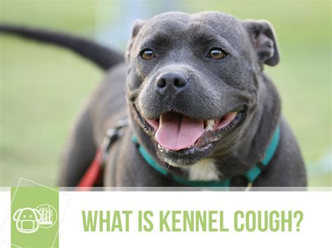 what is kennel cough in dogs what is kennel cough the pet professionals