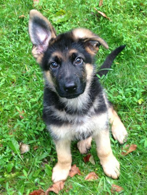 buy german shepherd puppy german shepherd puppy