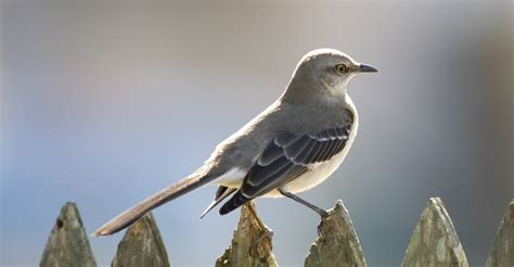 state birds mockingbird on a fence mississippi pictures
