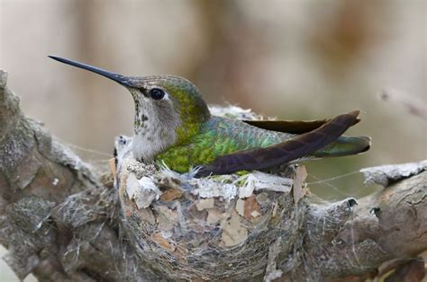 17 best images about hummingbird nests on pinterest baby