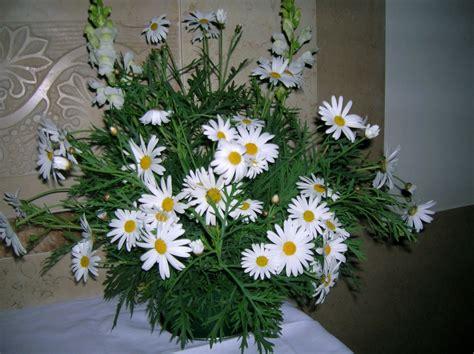 immagini di fiori margherite bouquet di margherite foto immagini piante fiori e