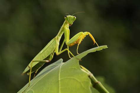 praying mantis christmas tree more than 100 praying mantises hatch in s tree
