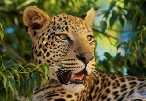 south american jaguar facts surprising facts about our favorite big cat species mnn
