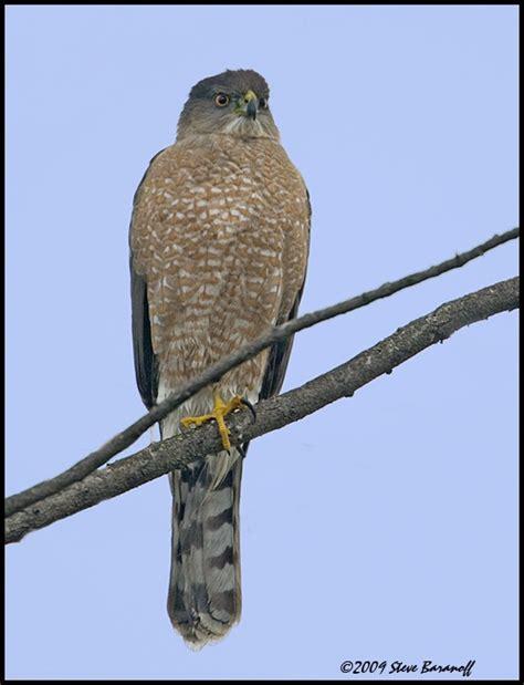 coopers hawks coopers hawk pictures coopers hawk coopers hawk birds pinterest