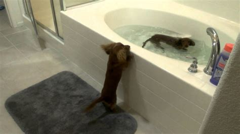two dogs in a bathtub two miniature dachshund dogs excited it s bath time video