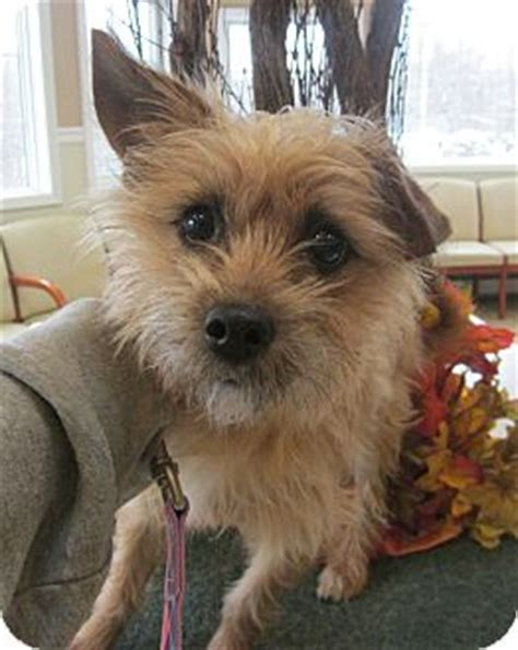 norwich terrier yorkie mix edy adopted oak ridge nj yorkie terrier norwich terrier mix