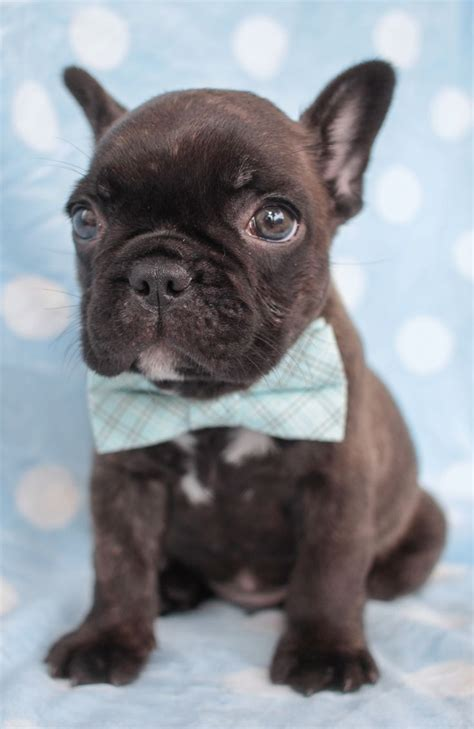 frenchie puppies for sale 1000 ideas about frenchie puppies for sale on bulldogs frenchie