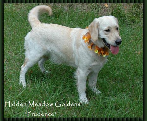 golden meadow retrievers white retriever breeds picture