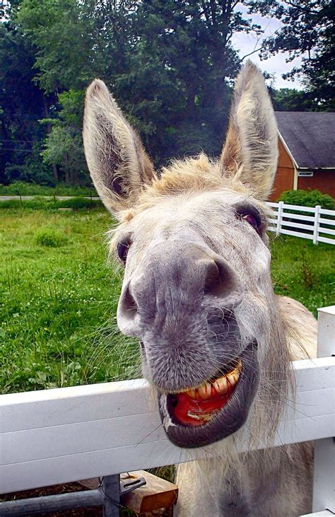summer donkey smiling edited  inn  east hill farm