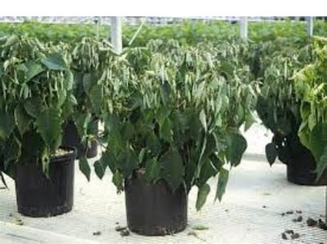 symptoms and solutions plant moisture stress cold stress in plants