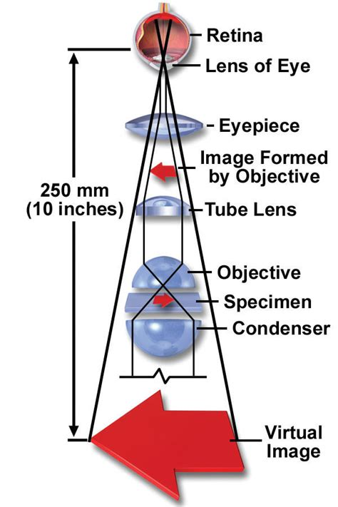 how does a compound light microscope magnify images magnification resolution histologyolm stevegallik org