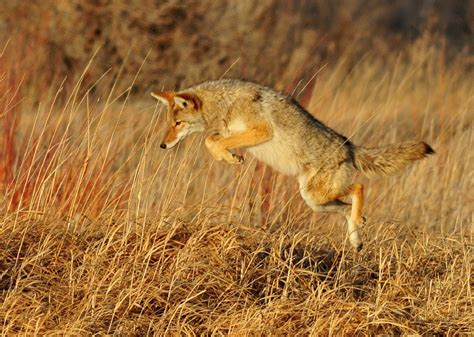 coyote images free photo coyote leaping predator wildlife free